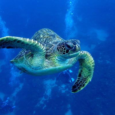 「海中を泳ぐウミガメ」の写真素材