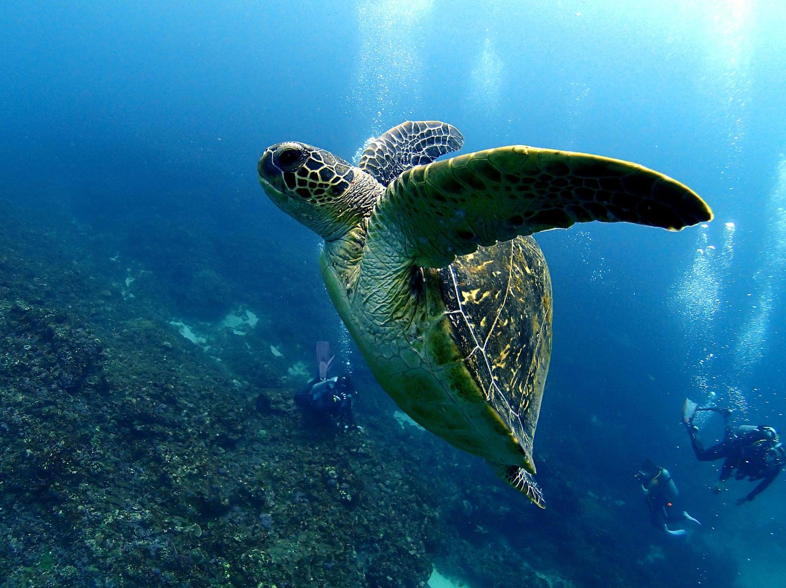「優雅に泳ぐウミガメとダイバー」の写真