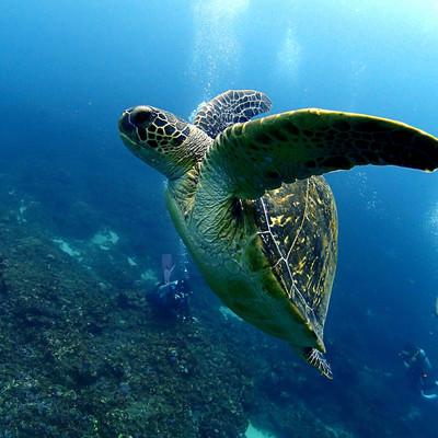 優雅に泳ぐウミガメとダイバーの写真
