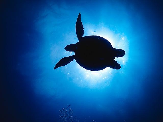 海中からのウミガメのシルエットの写真