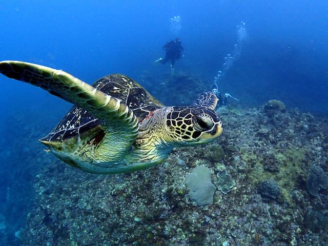 徳之島の海を泳ぐウミガメの写真
