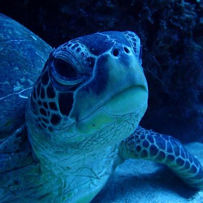 徳之島ウミガメの写真