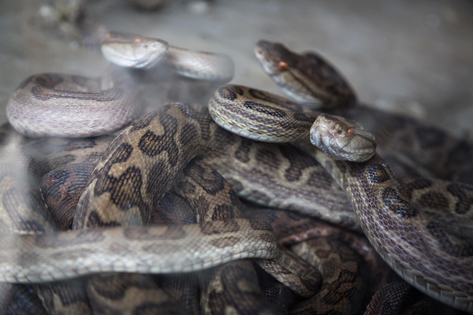 「徳之島の「ハブの館」に捕らえられた猛毒のハブ」の写真