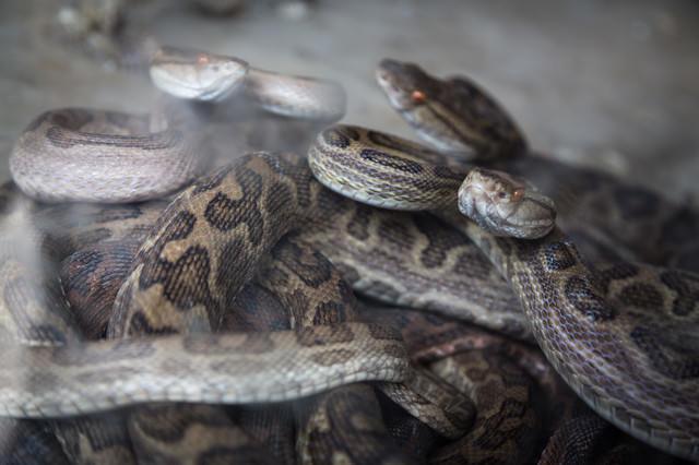 徳之島の「ハブの館」に捕らえられた猛毒のハブの写真