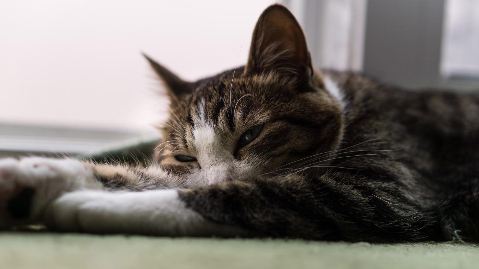 「眠くて力尽きそうな猫眠くて力尽きそうな猫」のフリー写真素材を拡大