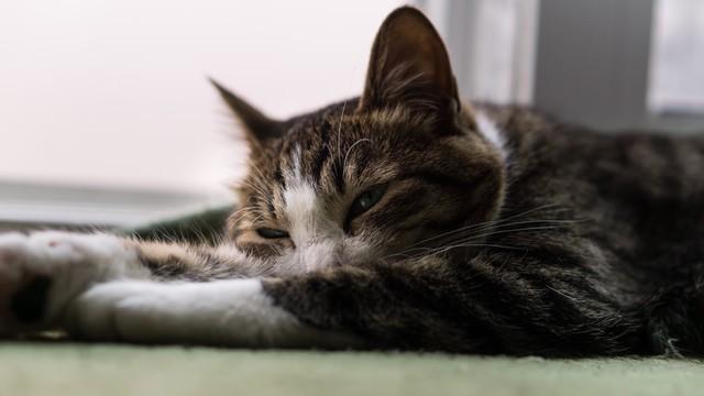 眠くて力尽きそうな猫の写真