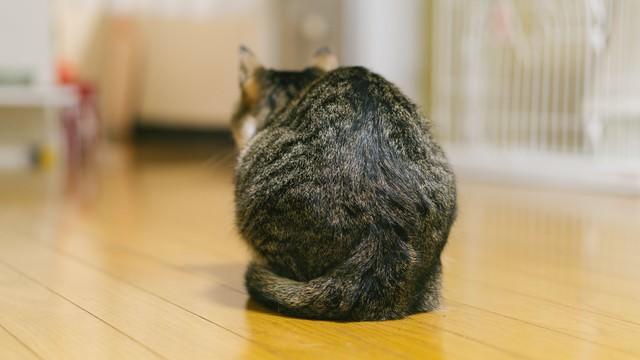猫の後ろ姿(猫背)の写真