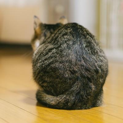 「猫の後ろ姿(猫背)」の写真素材