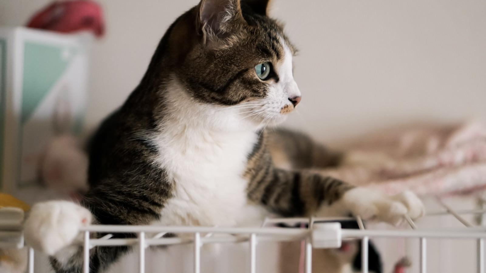 「ゲージ上で辺りを気にする猫」の写真