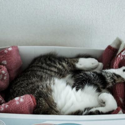 箱の中で丸くなる猫の写真