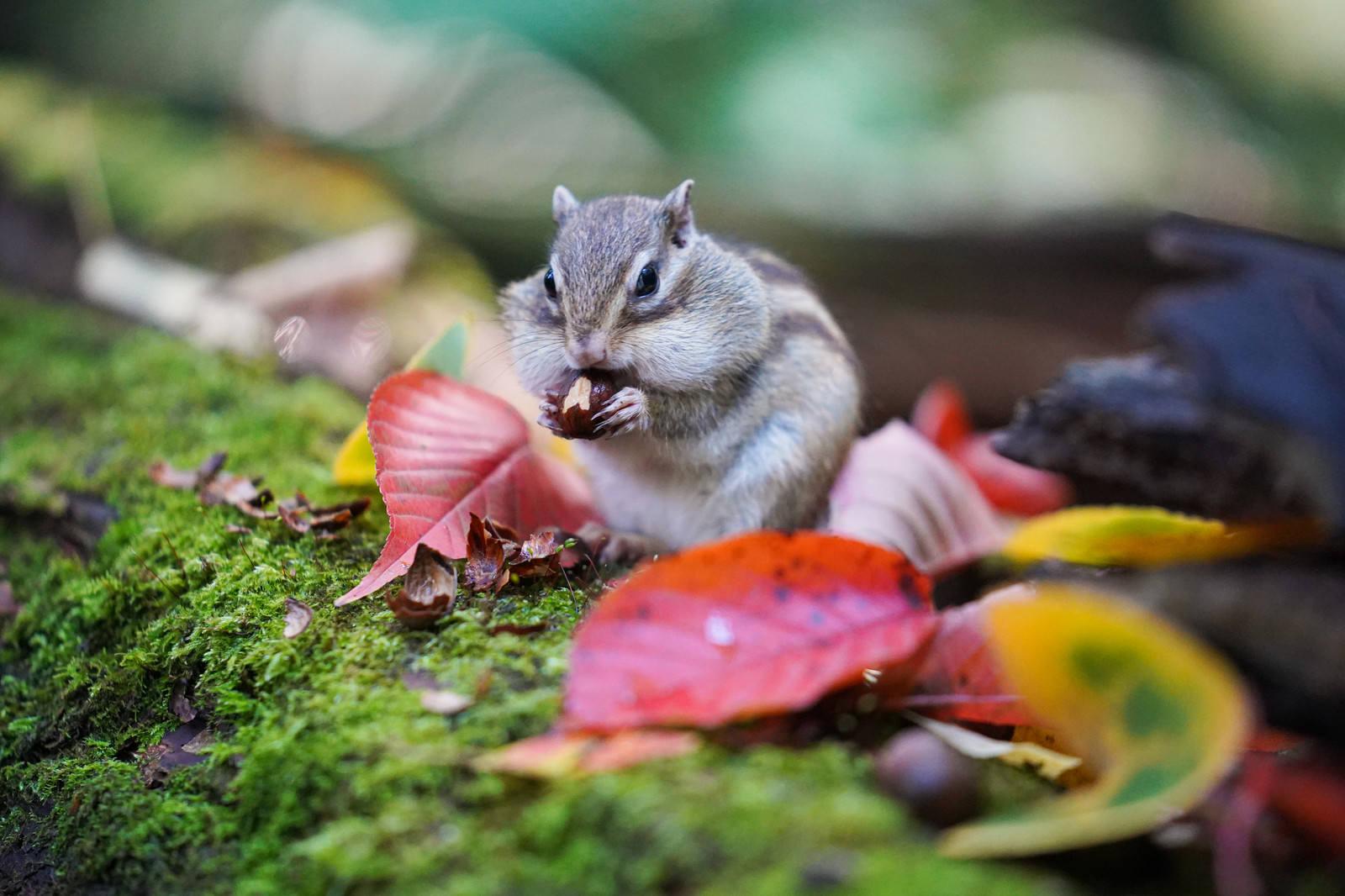 「頬袋に詰め込めむ野生のリス」の写真