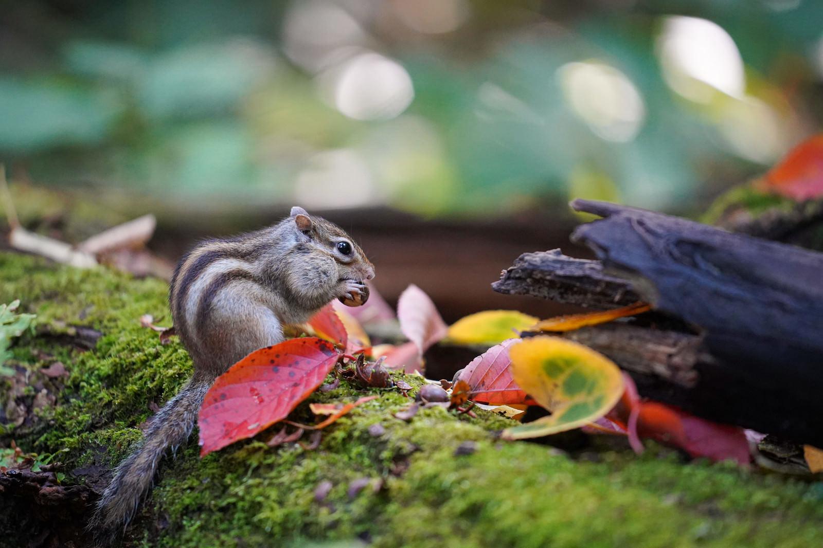 「口にナッツを詰め込むシマリス」の写真