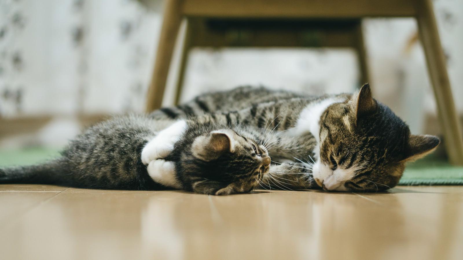 「スキンシップ中の猫(親猫と子猫)」の写真