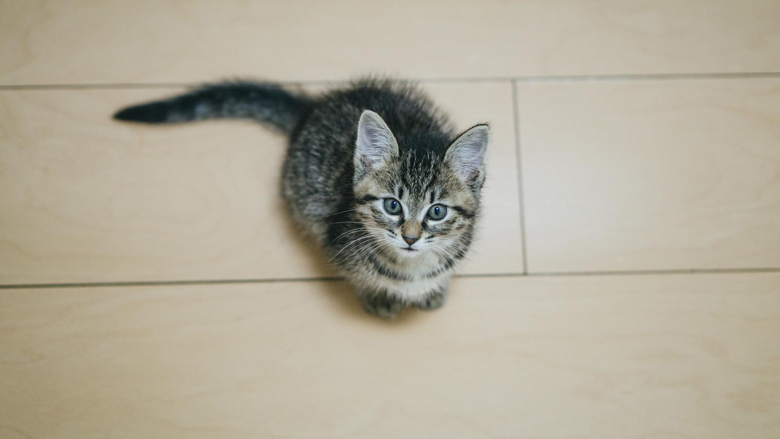 「遊んでほしそうに上を見上げる子猫」の写真