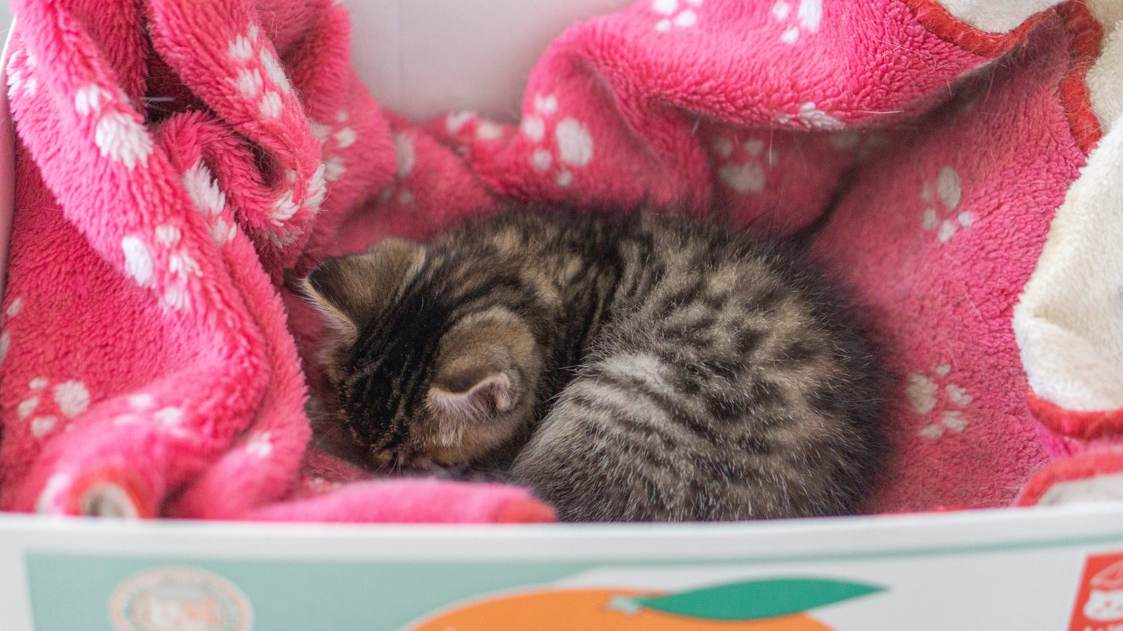 「モーフに包まれた猫ちゃん」の写真