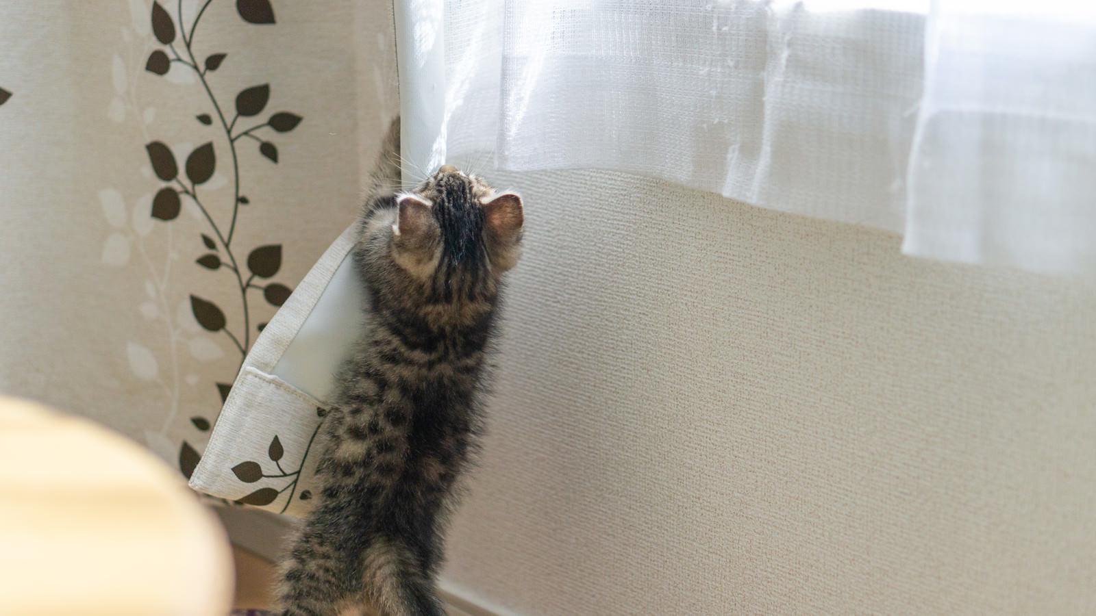 「カーテンにしがみつく子猫」の写真