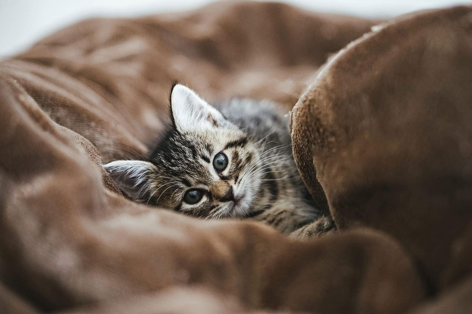 「ごろ寝したそうに見つめてくてるうるうる子猫」の写真