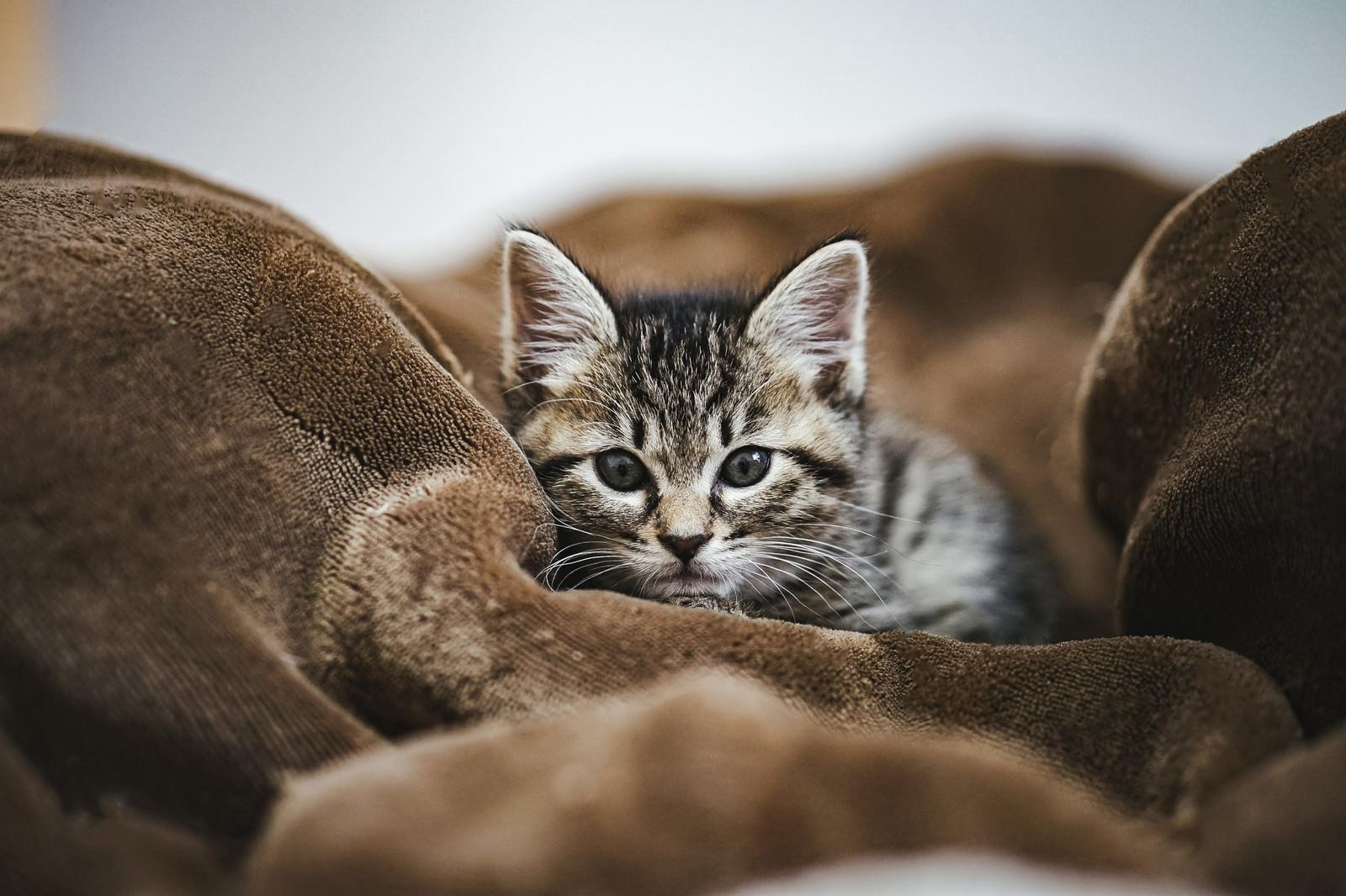 「まだ寝ないの?モーフで待つ子猫」の写真