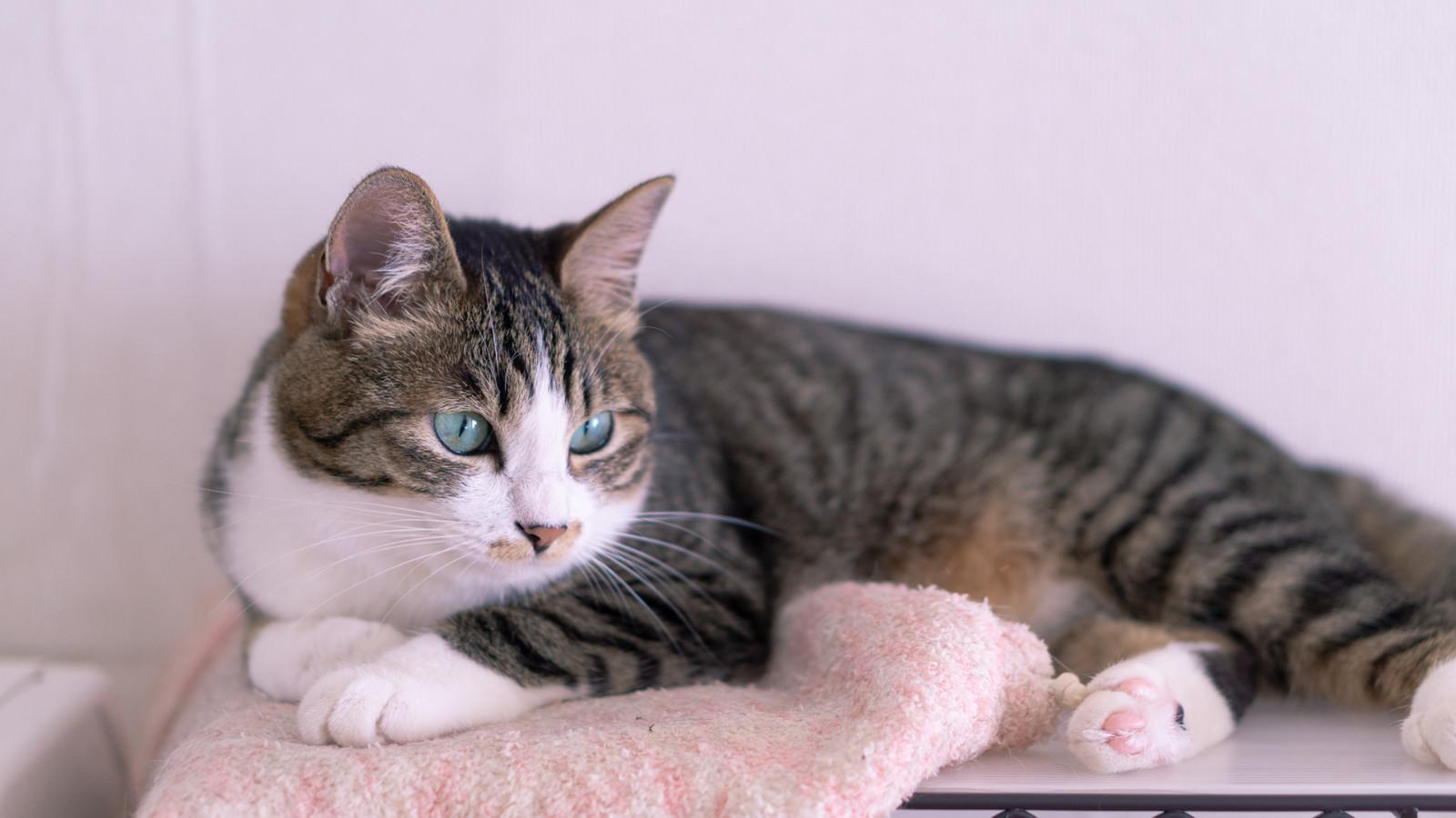 「くつろぎながら何かを見つめる猫」の写真