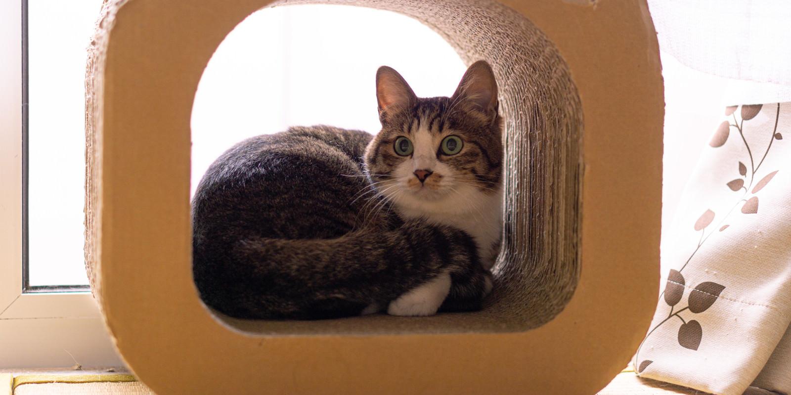 「スクラッチーの中で日向ぼっこする猫」の写真