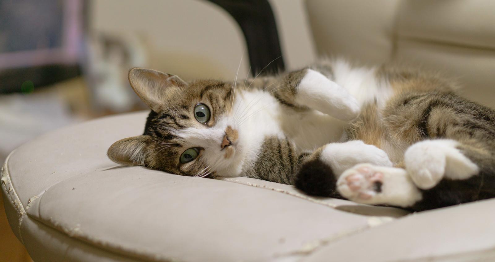 「ご主人様の座っている椅子でごろん(猫)」の写真