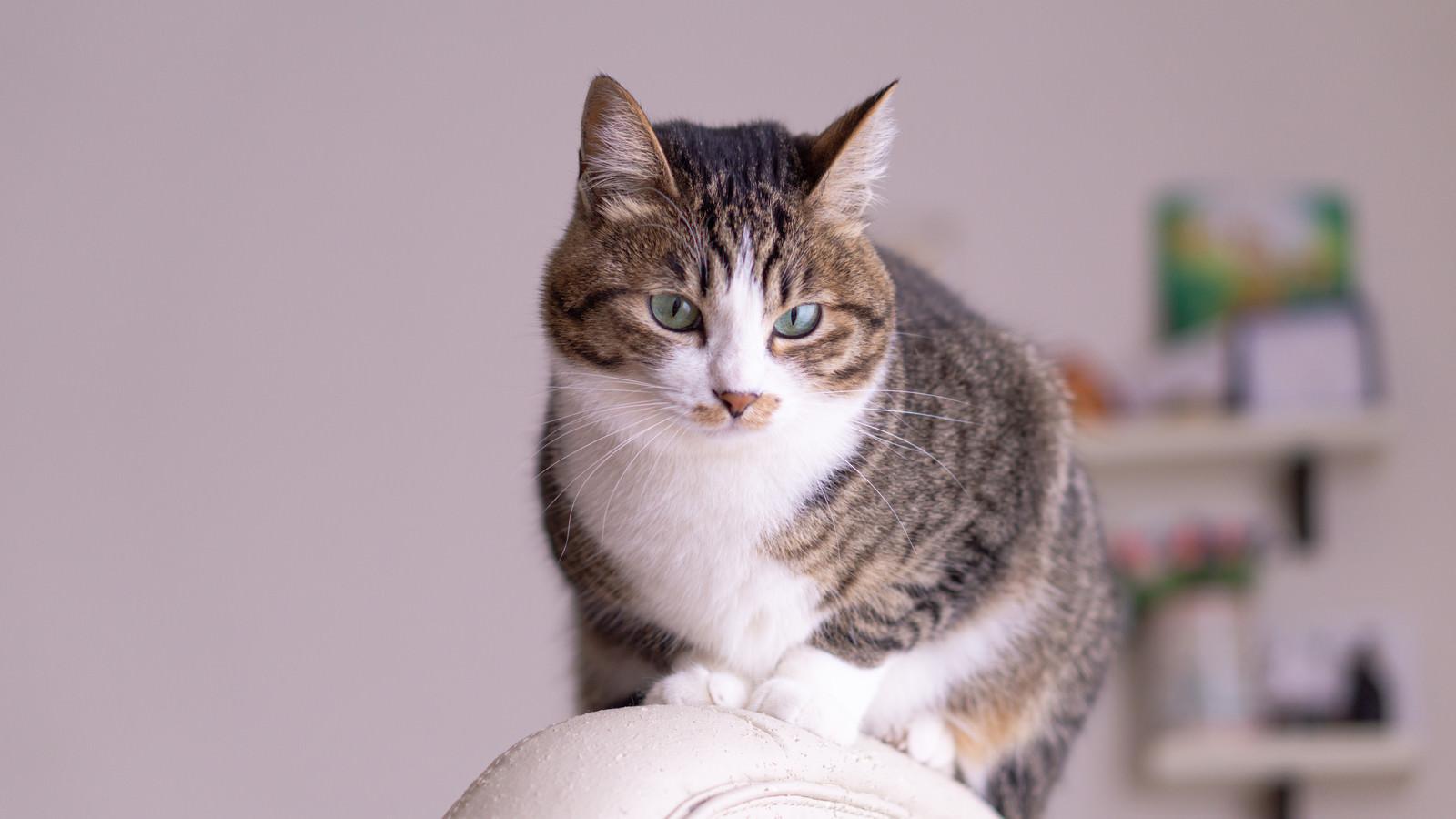 「椅子上でドヤ顔猫」の写真