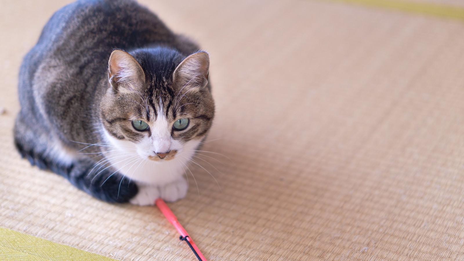 「猫じゃらしにロックオンした猫」の写真