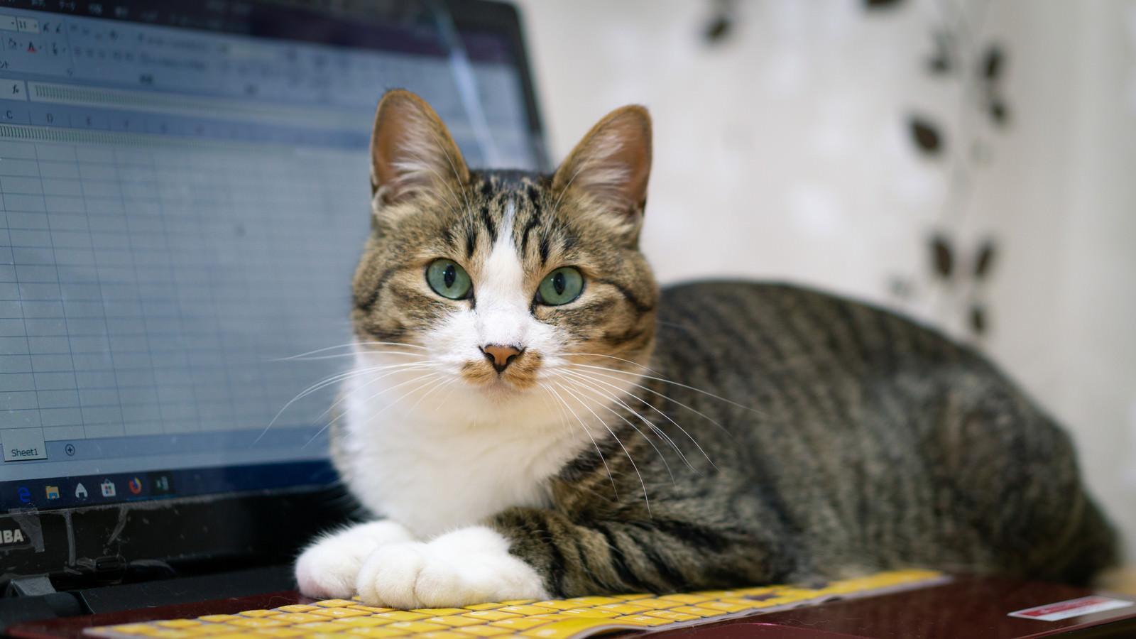「キーボードの上におすわりする猫」の写真