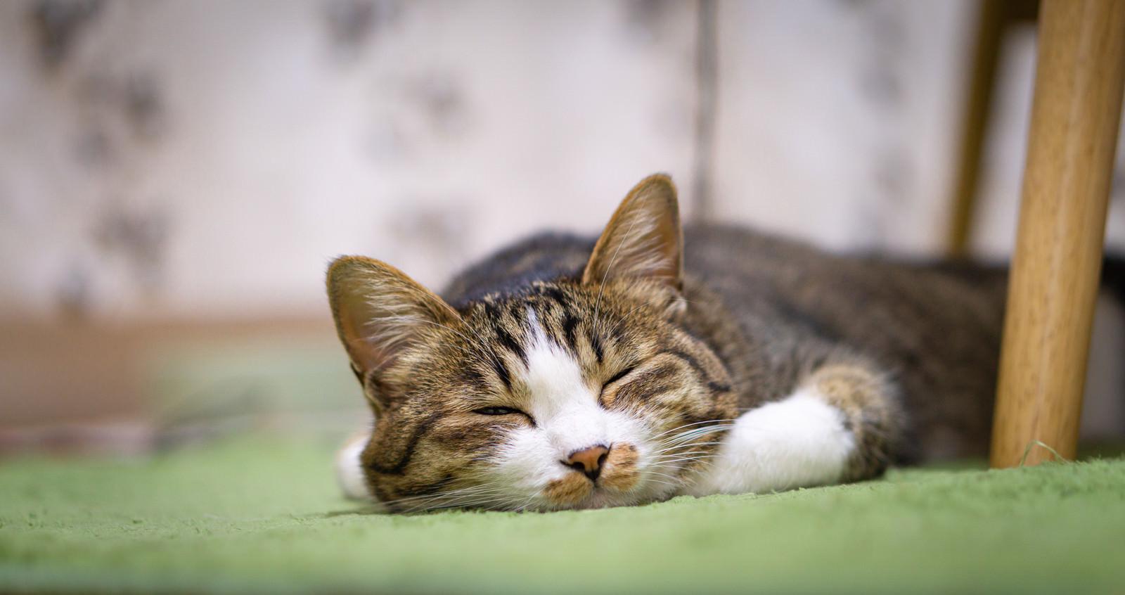 「カーペットの上で爆睡する猫」の写真
