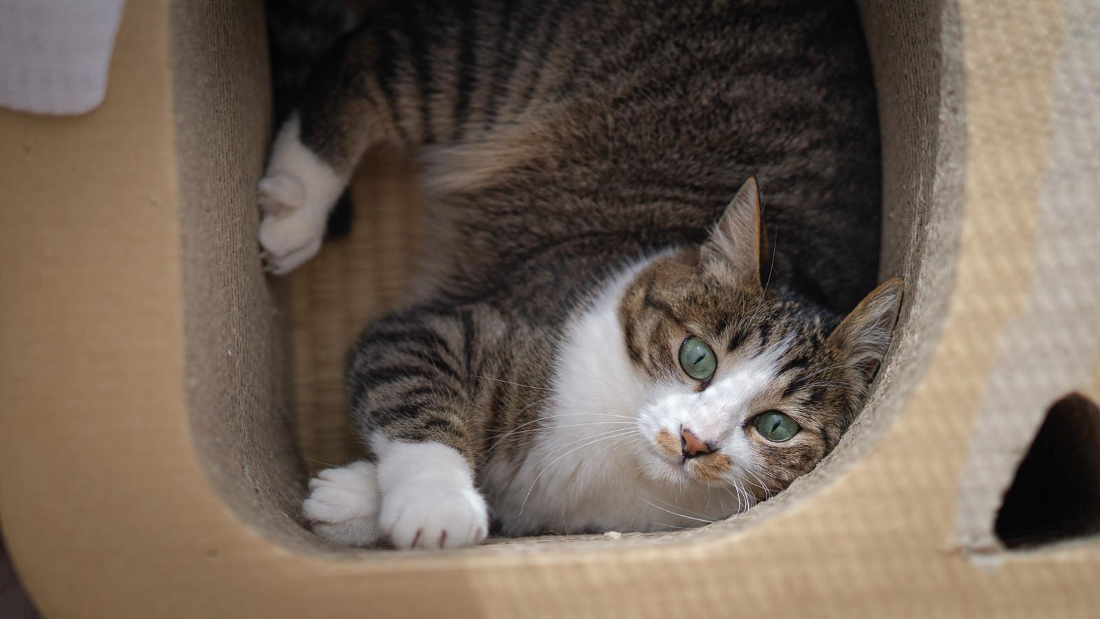 「ダンボールの遊具からなかなか出られない猫」の写真