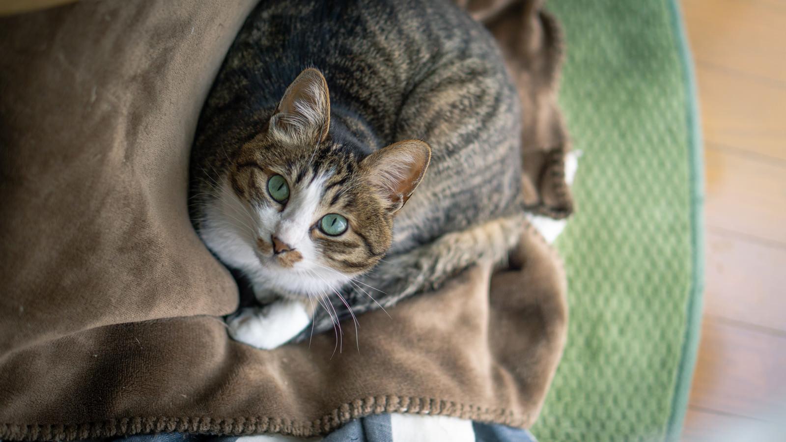 「ブランケットの上でくつろぐ猫」の写真