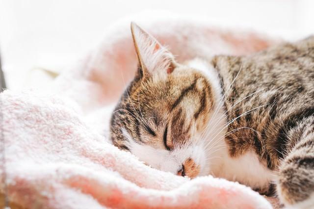 ふわふわタオルで眠る猫の写真