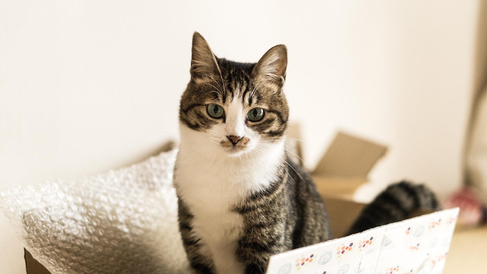 「ダンボールの住猫」