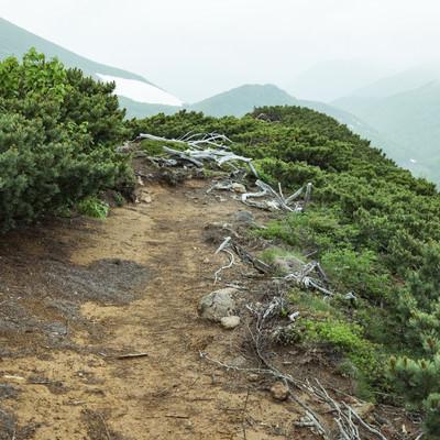 枯れた木々と登山道の写真