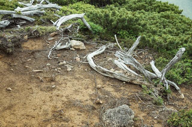 登山道脇の枯木の写真
