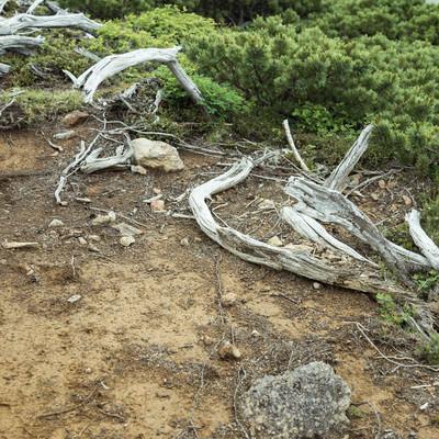 「登山道脇の枯木」の写真素材