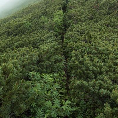 群生したハイマツで覆われた登山道の写真
