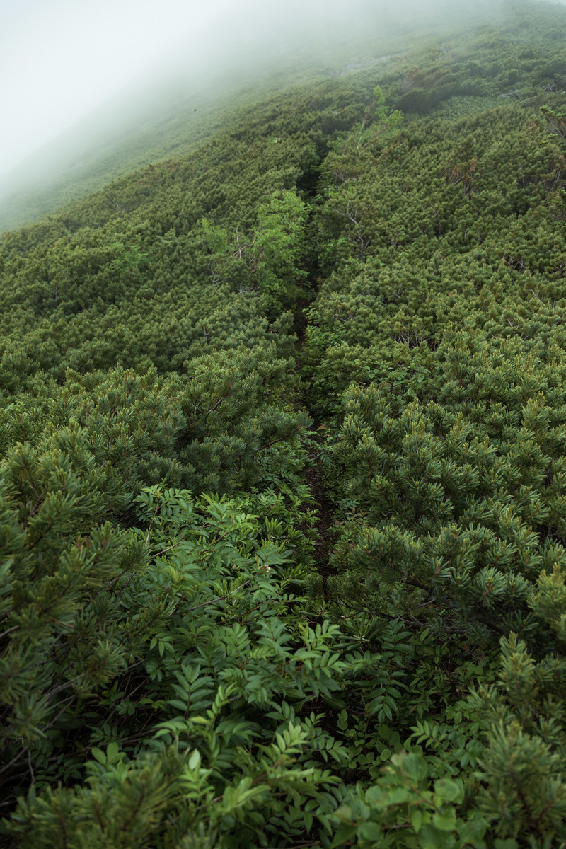 「群生したハイマツで覆われた登山道」の写真