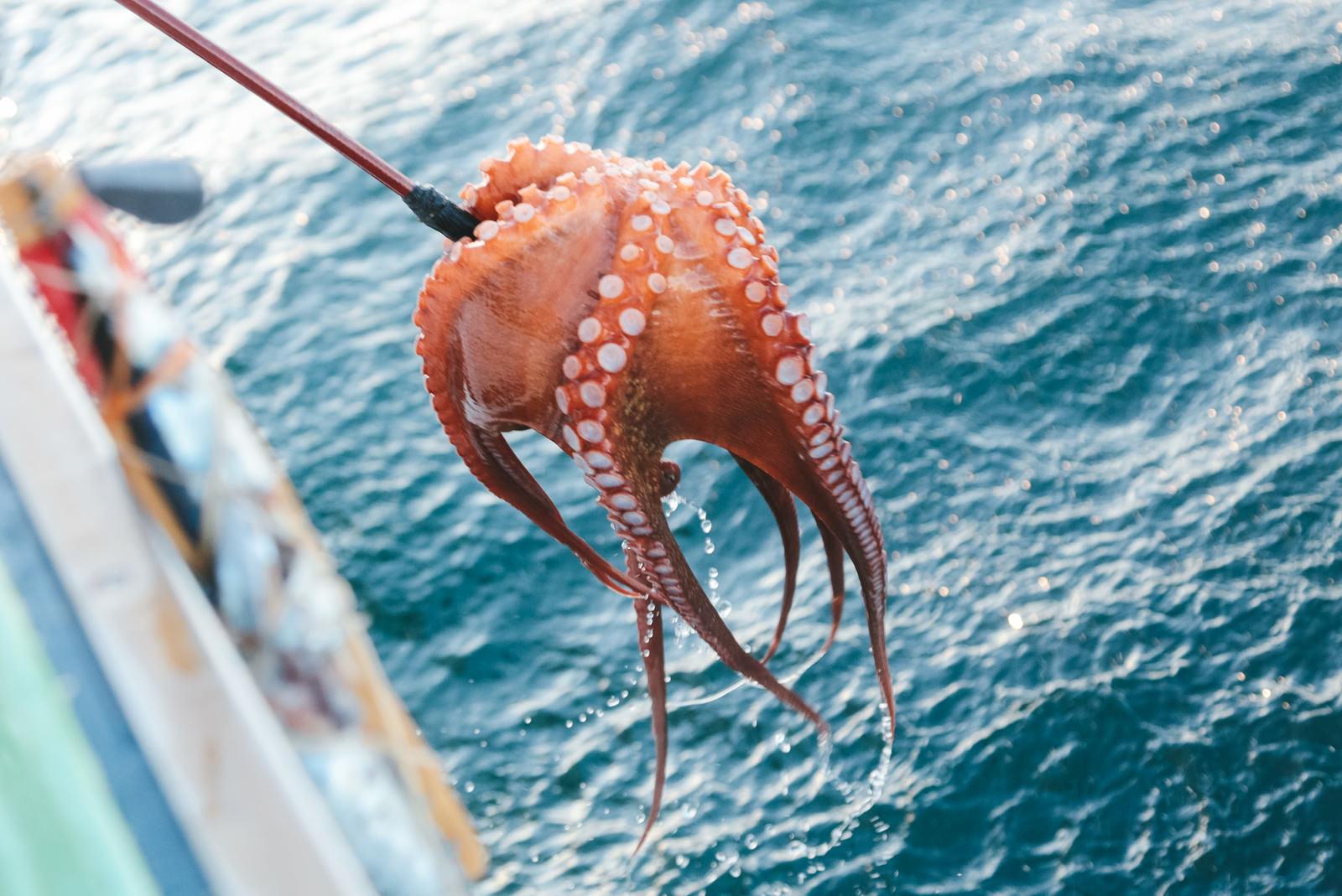 「蛸釣り採った蛸釣り採った」のフリー写真素材を拡大