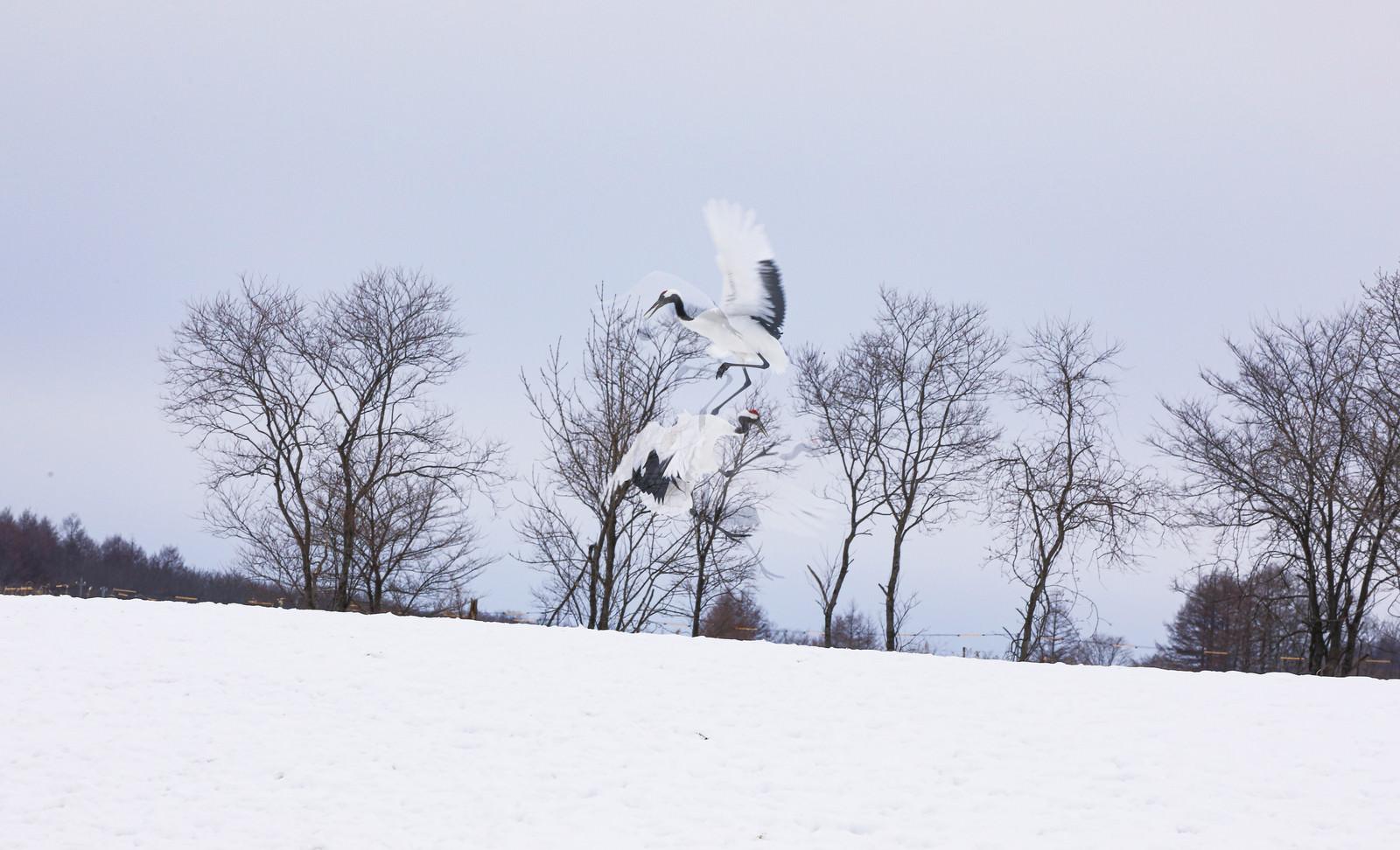 「飛びかかり喧嘩する鶴」の写真