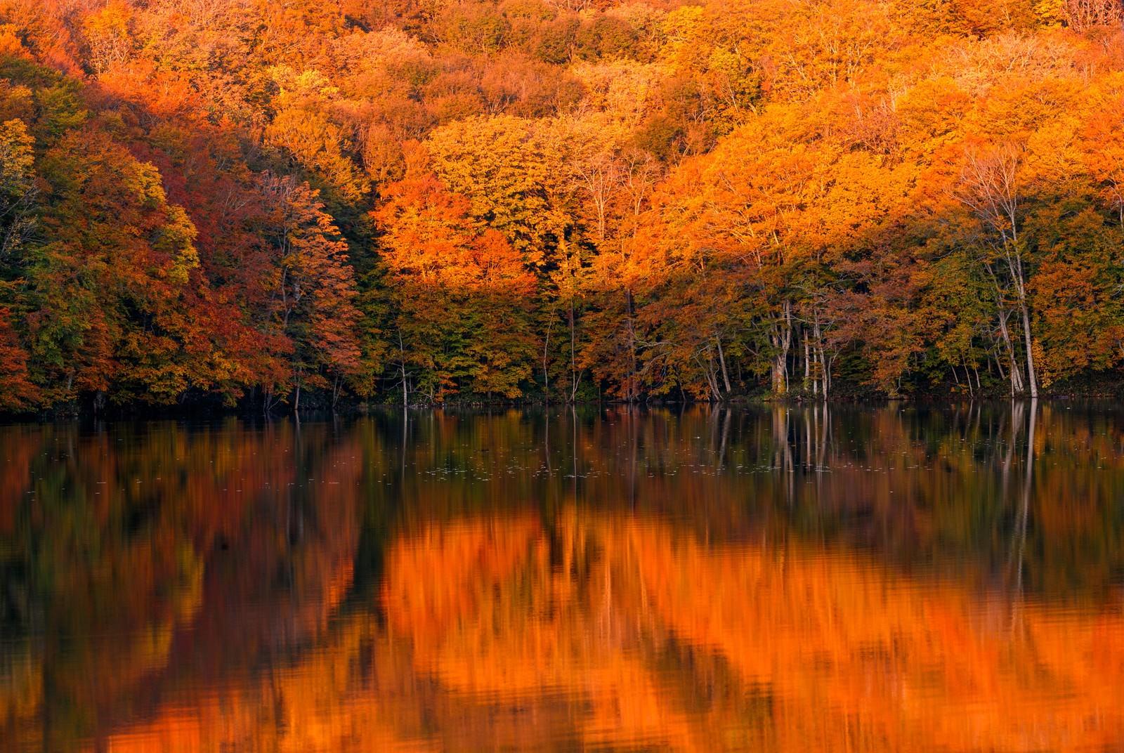 「紅葉と蔦沼の日の出」の写真
