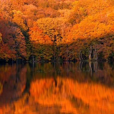 紅葉と蔦沼の日の出の写真