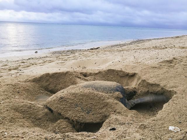 砂浜で産卵場所を掘る大きなウミガメの写真