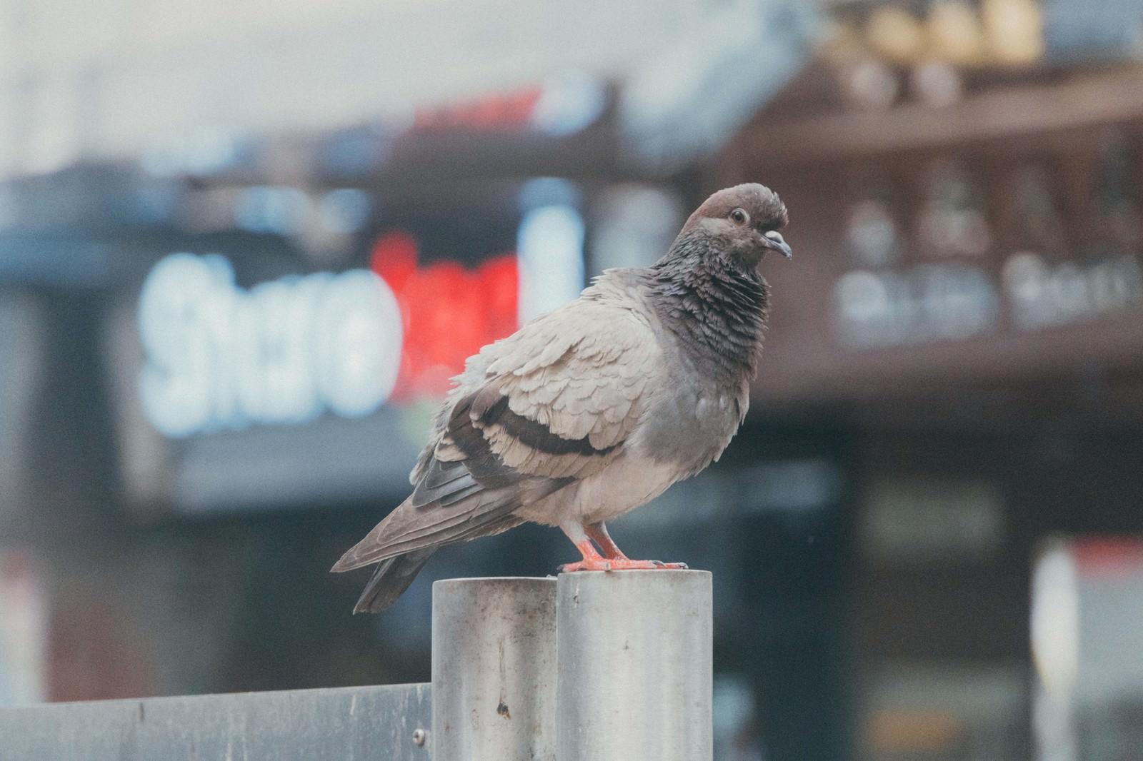 「柵の上で様子を見る鳩」の写真