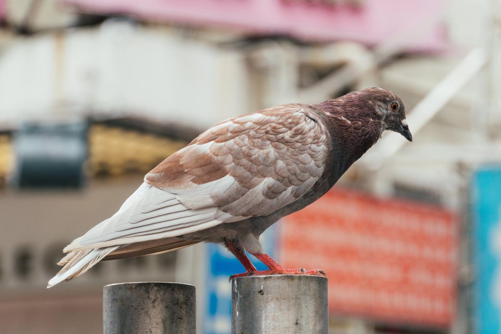 「茶色い鳩」の写真