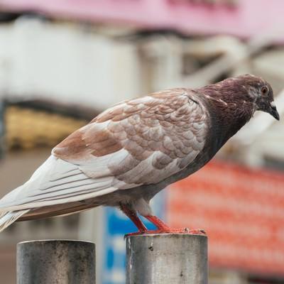 茶色い鳩の写真