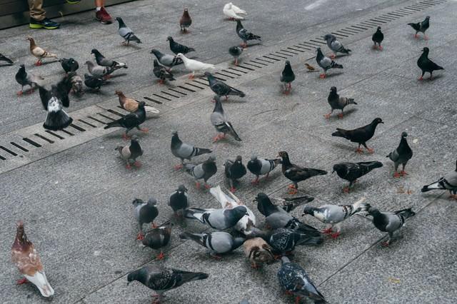 鳩が集まってきたの写真