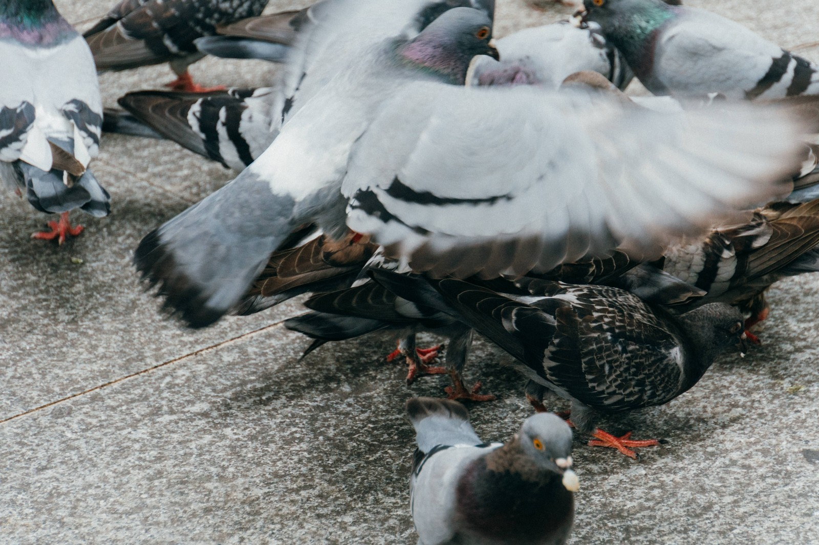 「餌くれバッサー(鳩)」の写真