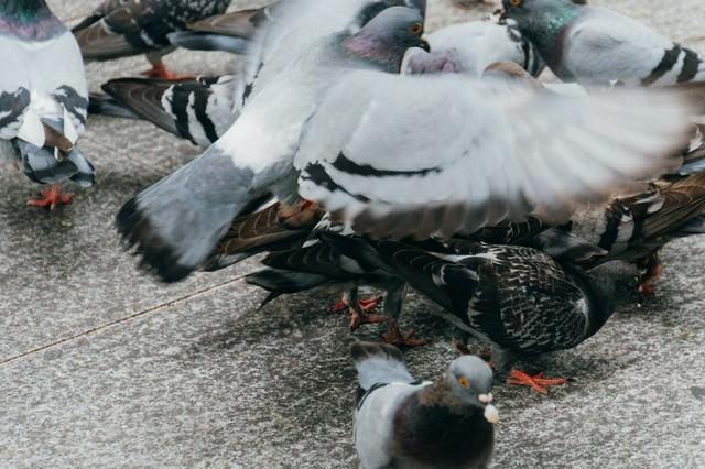 餌くれバッサー(鳩)の写真