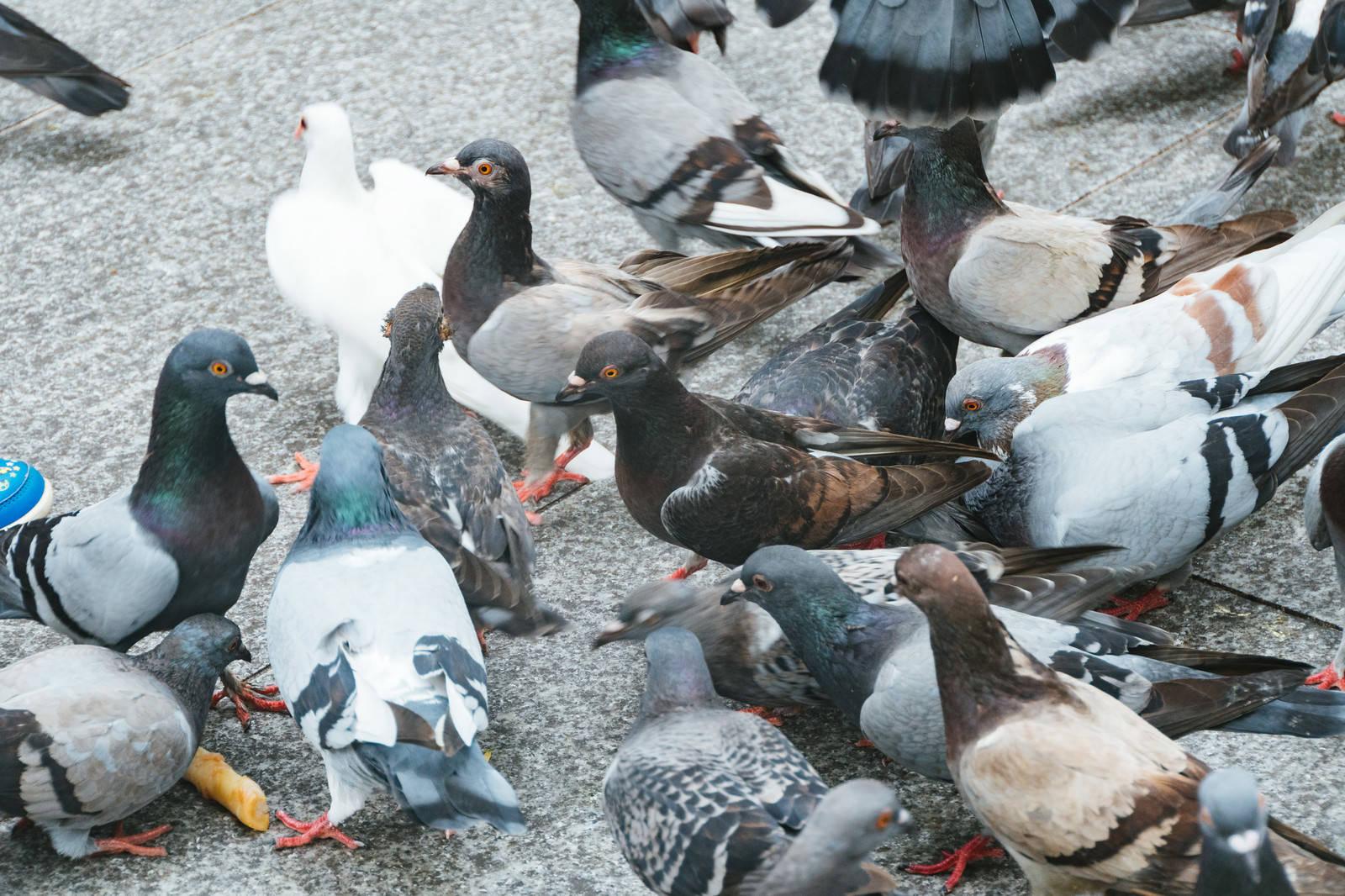 「餌を期待する鳩の集団 | 写真の無料素材・フリー素材 - ぱくたそ」の写真